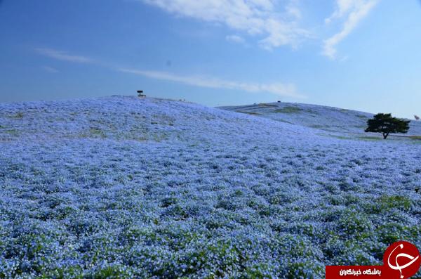 تصاویر + دریایی از شکوفه های آبی بی نظیر در پارک ژاپن