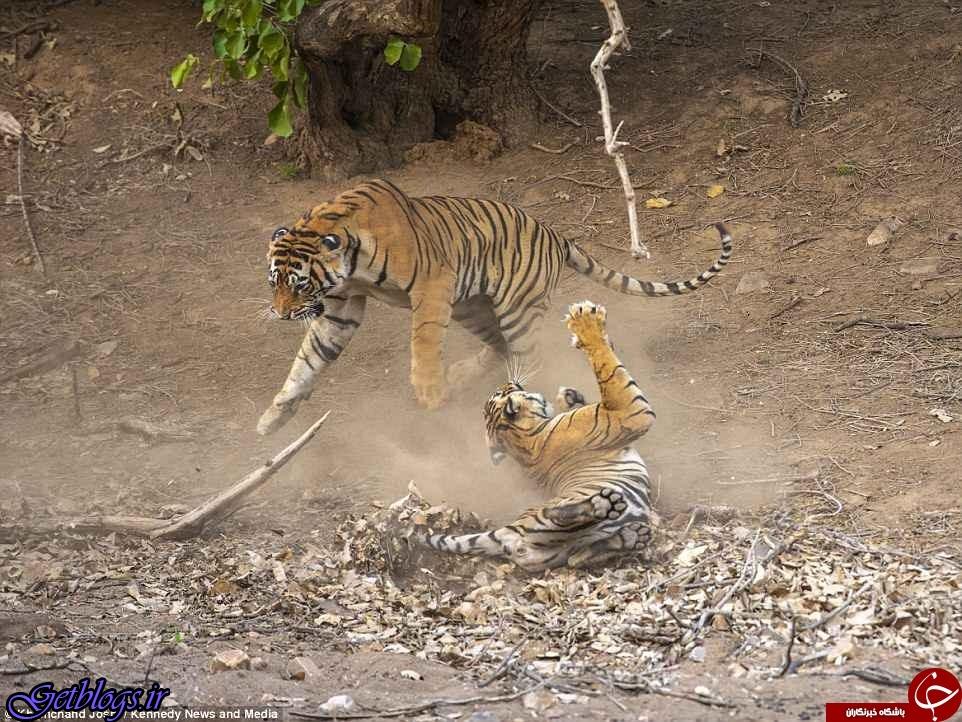 تصاویر) + تصاویری شگفت انگیز از جنگ دو ببر نر و ماده در پارک جنگلی هند (