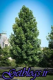 کنترل رشد درختان با استفاده از اصلاح ژنتیکی