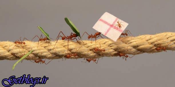 تصاویر) + پیشبینی نتیجه های انگلستان با مورچه! (